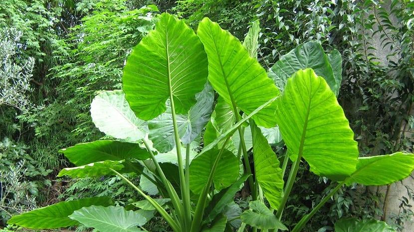 hojas verdosas y muy grandes