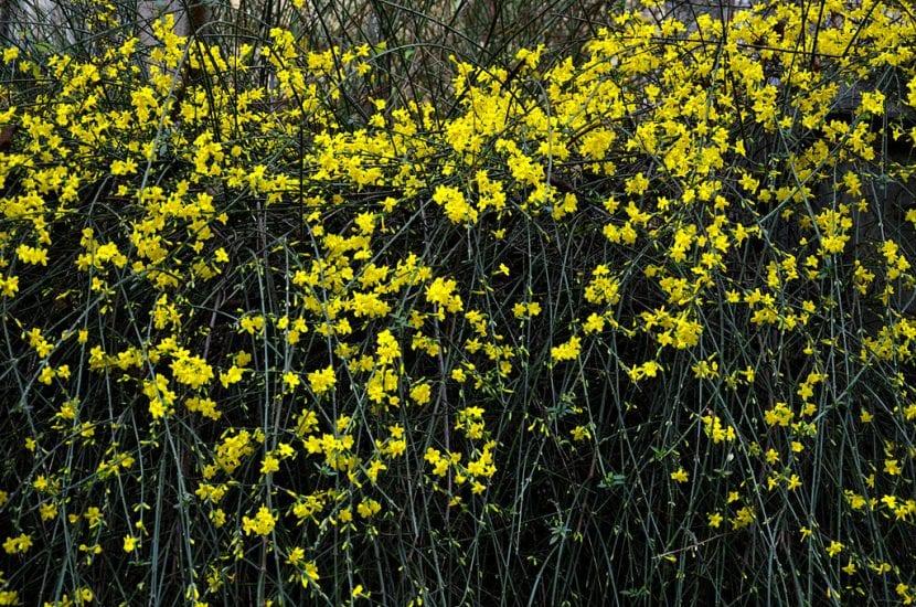 El Jasminum nudiflorum es un arbusto fácil de cuidar