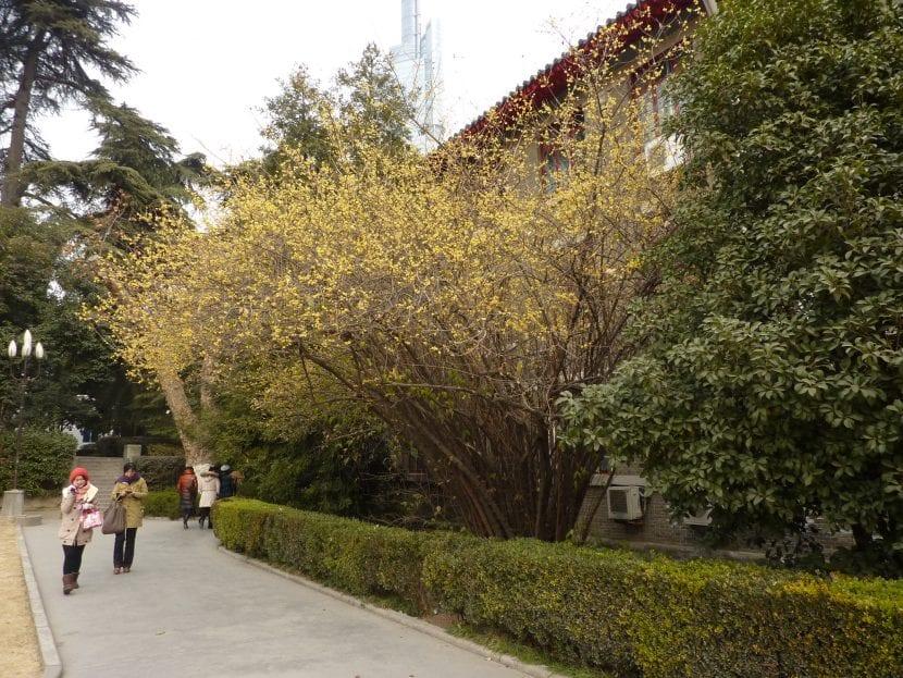 El Jasminum nudiflorum es un arbusto de jardín precioso