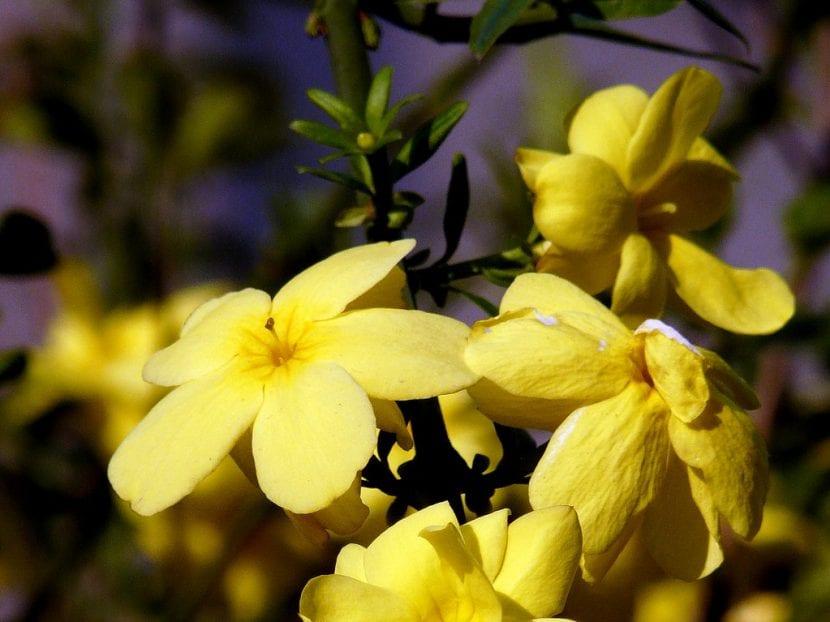 El jazmín de invierno florece en primavera e invierno