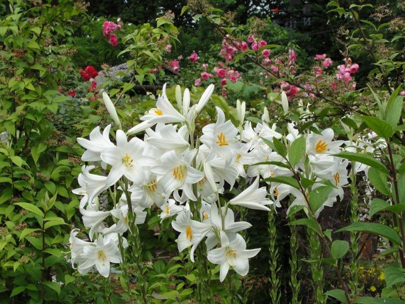 Vista del Lilium candidum en flor