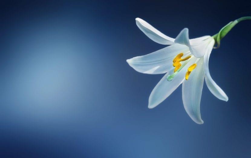 La flor del Lilium candidum es blanca