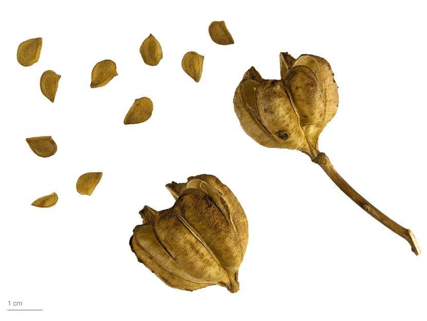 Las semillas del Lilium candidum son pequeñas