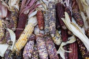 mazorcas de maiz con colores diferentes en cada una