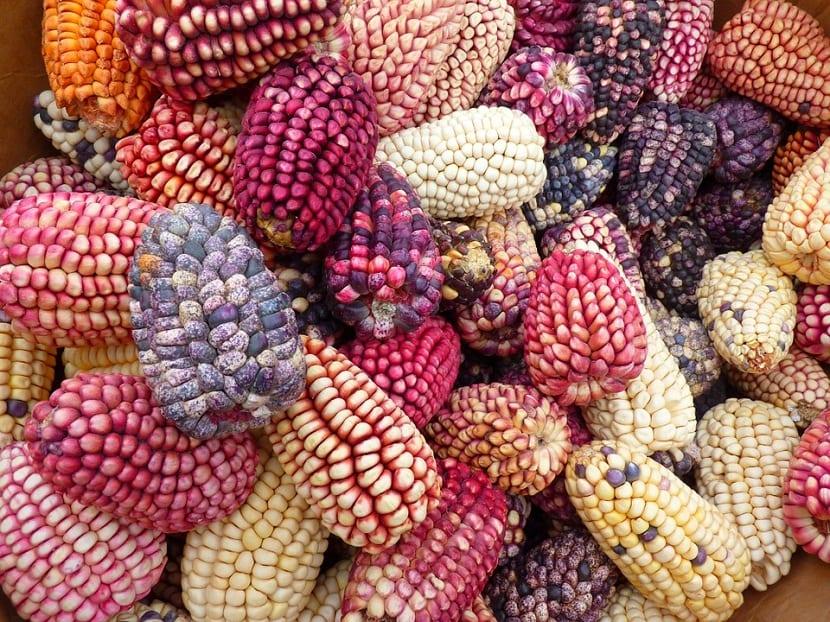 mazorcas de maiz de diferentes tamanos y colores