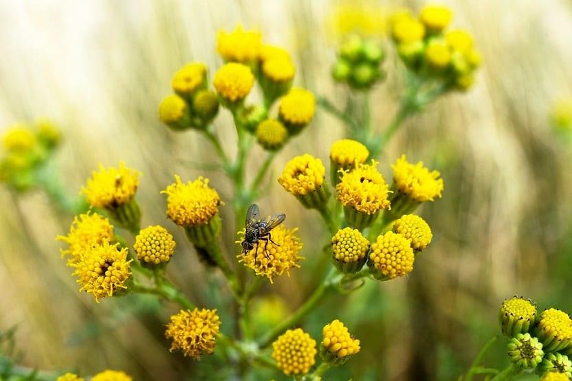 moscardon encima de un arbusto con flores amarillas que estan cerradas
