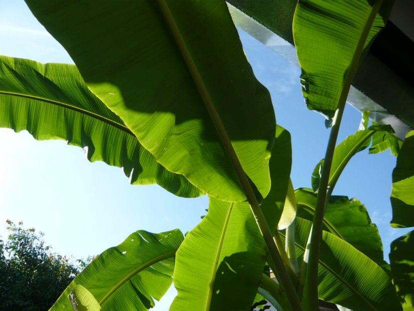 Vista de las hojas del plátano macho