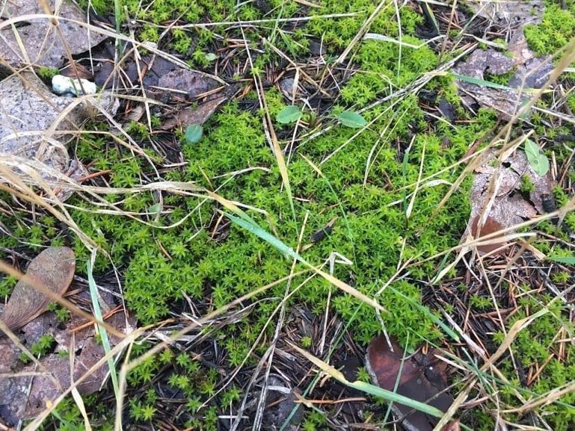 musgo que parece entre ramas secas y hierbajos