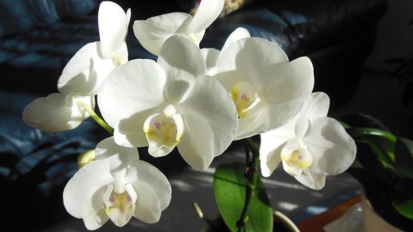 La planta Phalaenopsis produce flores que pueden ser blancas
