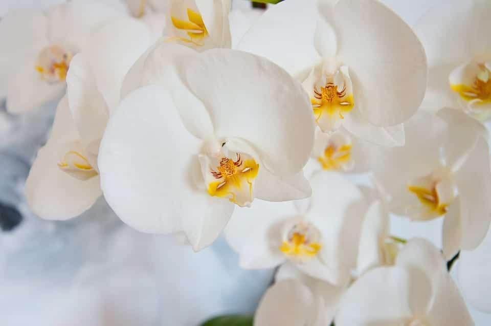 La orquídea blanca es una planta muy bonita