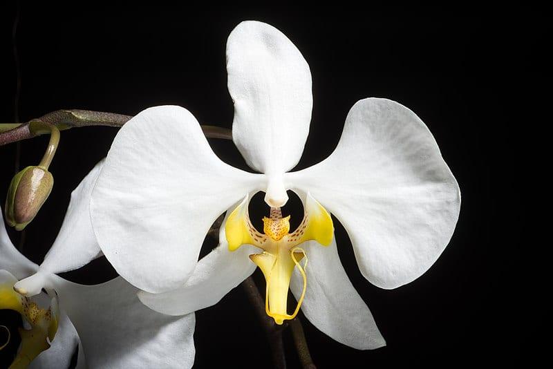 Orquídea blanca llamada Phalaenopsis amabilis