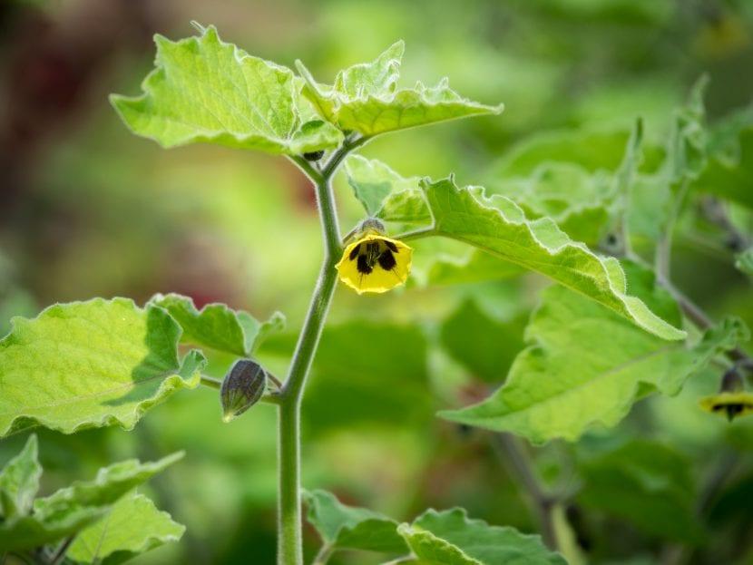 La Physalis peruviana es una planta fácil de cuidar
