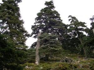 El pinsapo crece en las montañas