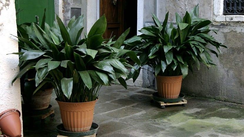planta de hojas grandes en macetas