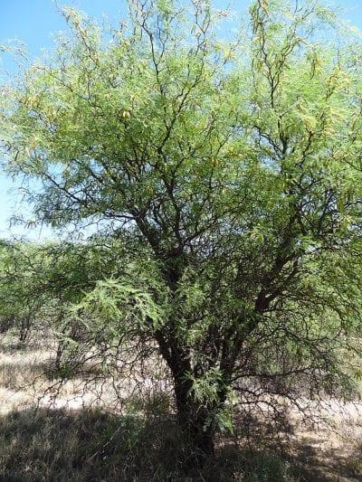 El Prosopis flexuosa es un árbol muy resistente a la sequía