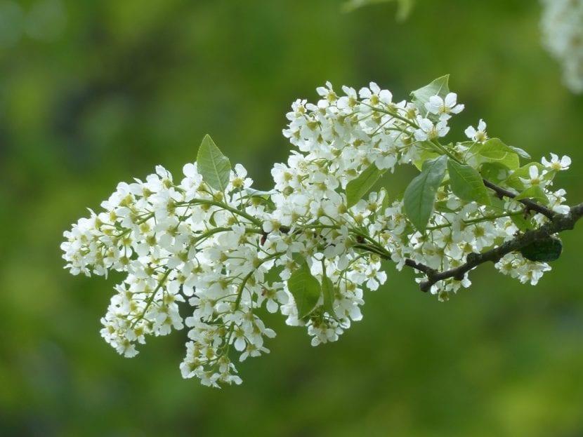 Prunus padus, un árbol muy decorativo
