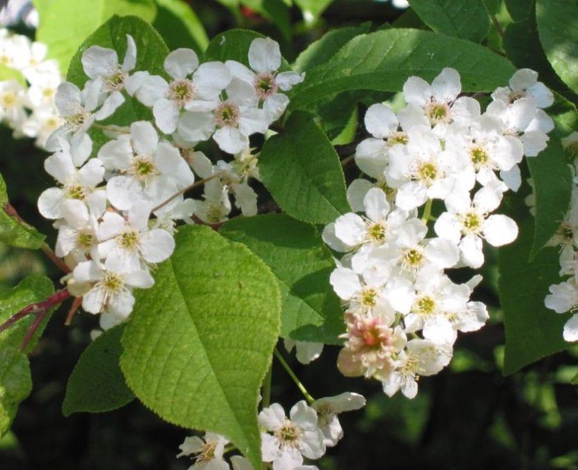 Las flores del Prunus padus son blancas