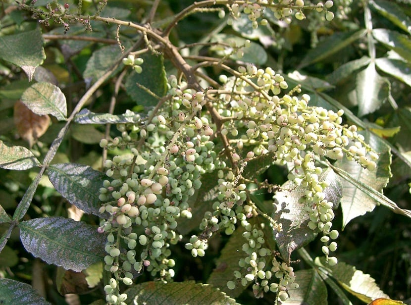 rama con pequeños frutos de color verde parewcido a un racimo de uvas