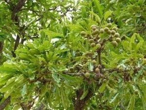 ramas de arbol con hojas gruesas de color verde y frutos redondos