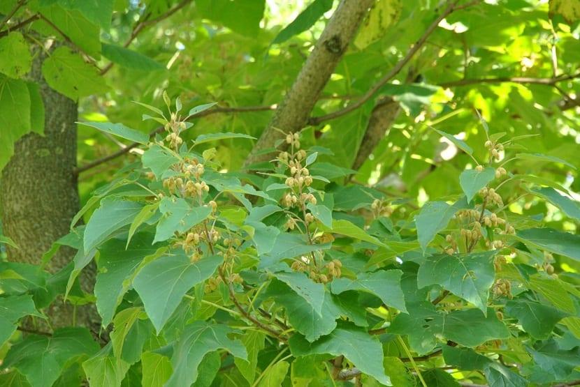 ramas de arbol rebosantes de hojas y una especie de frutos