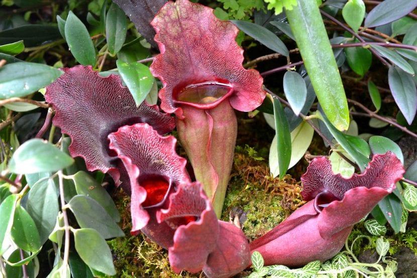La Sarracenia purpurea es una planta de rápido crecimiento