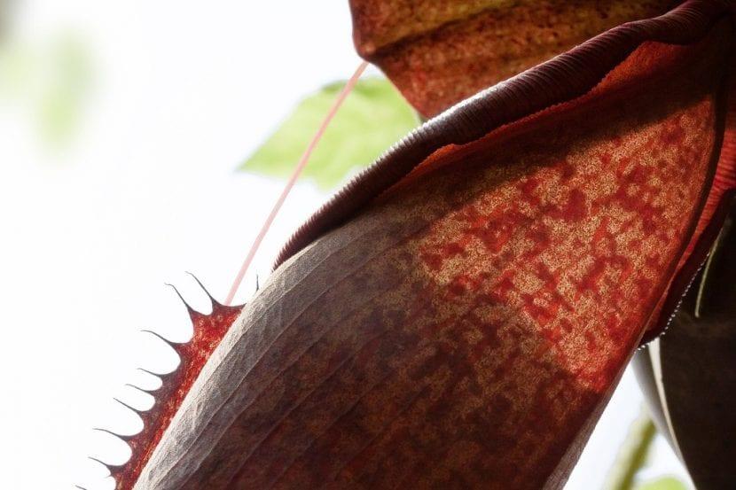Las trampas de la Sarracenia purpurea tienen forma de jarro