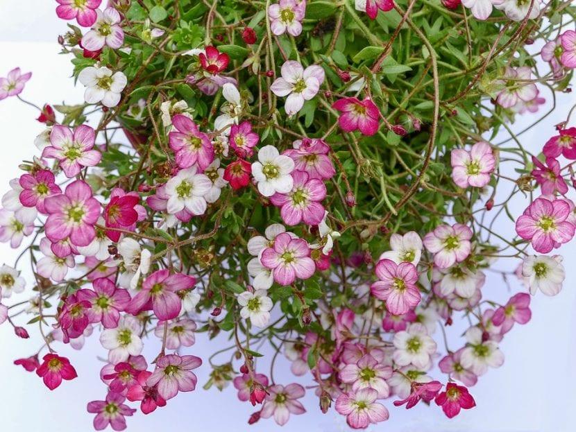 Las flores de la saxifraga son muy decorativas