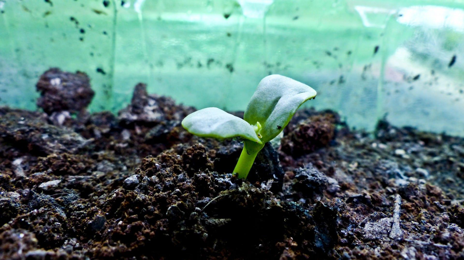 Las semillas suelen germinar mejor en un sitio cerrado