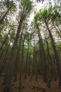 Vista de un bosque de Thuja occidentalis