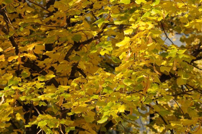 Vista de la Tilia cordata en otoño