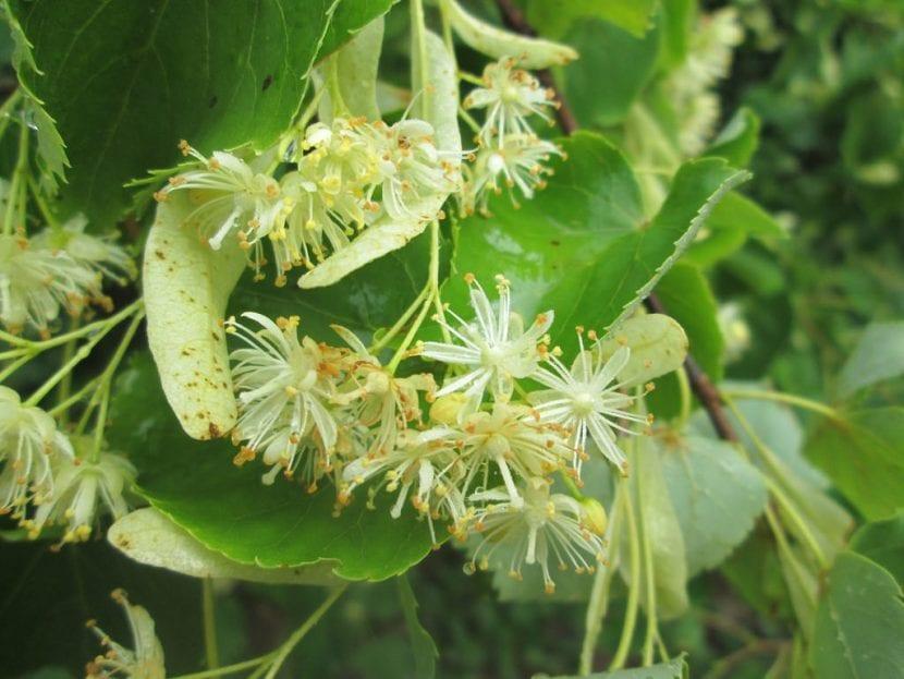 Las flores de la Tilia cordata son pequeñas