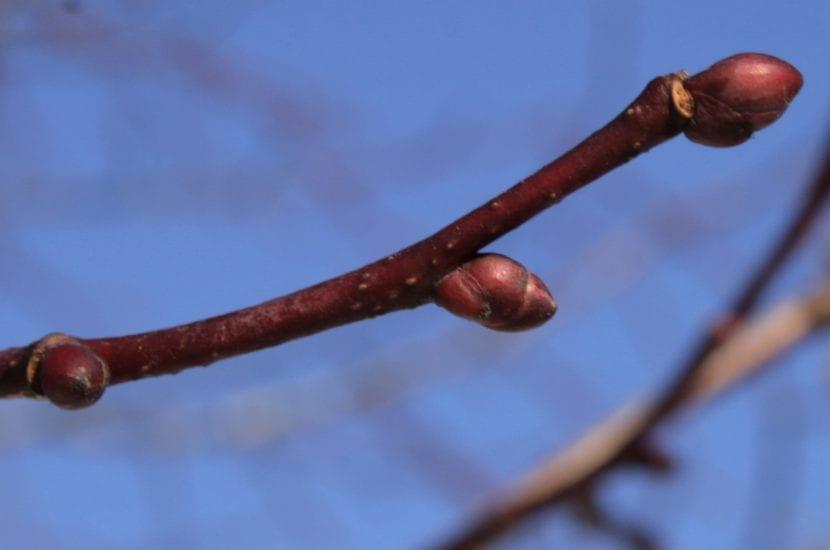 Las ramas del Tilia cordata son delgadas