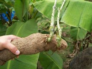 una planta llamada name parecida a una patata