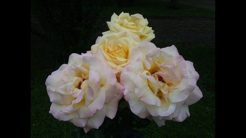 4 rosas con rocio encima de sus petalos