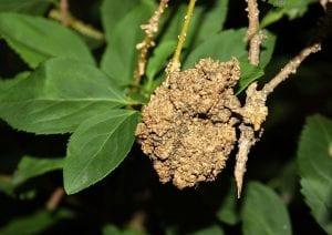 El Agrobacterium causa muchos problemas a las plantas