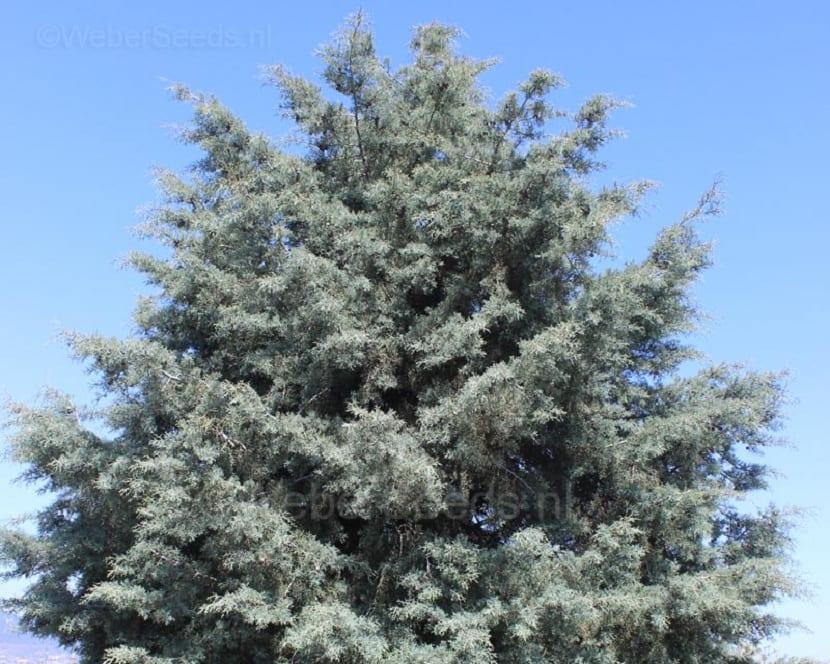 Características del Cupressus arizonica