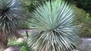 Caracteristicas de Yucca rostrata