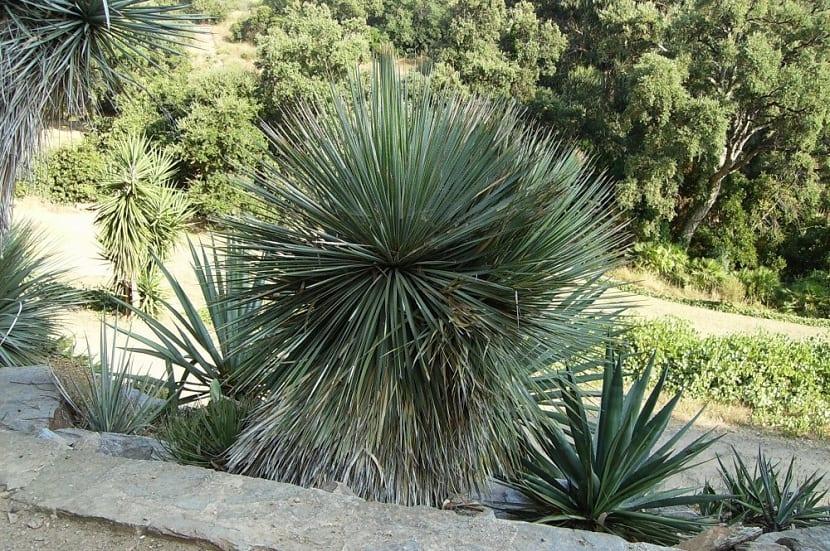 Crecimiento de la Yucca rostrata