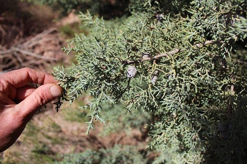 Detalle del Cupressus arizonica