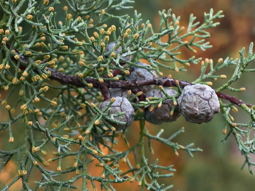 Frutos el Cupressus arizonica