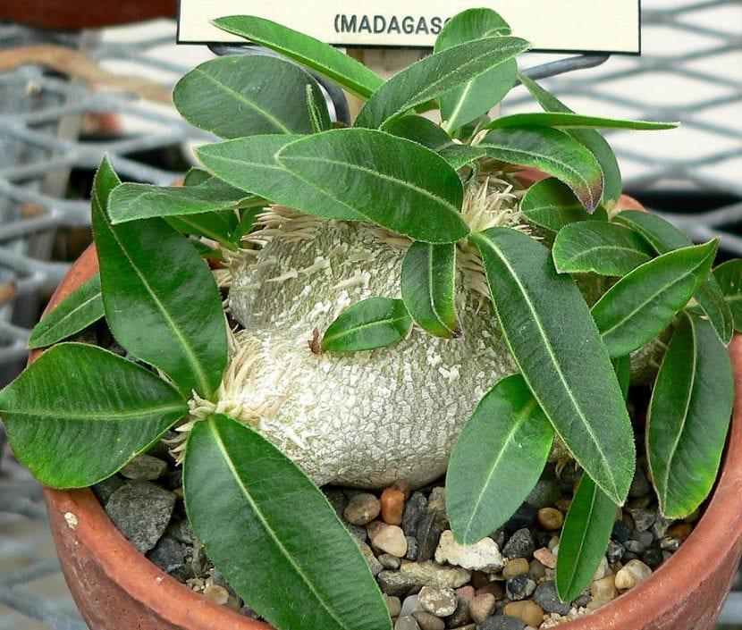 El Pachypodium brevicaule es una especie pequeña