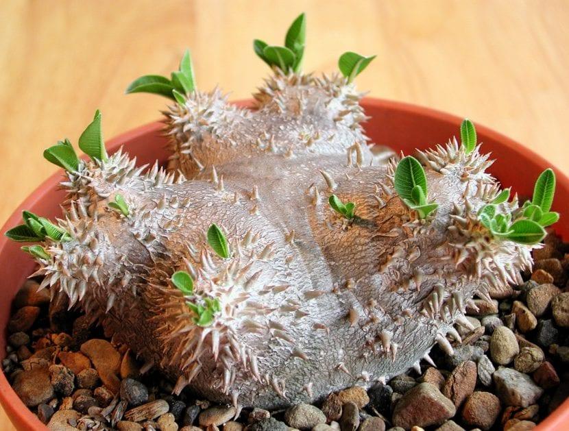 Vista del Pachypodium brevicaule