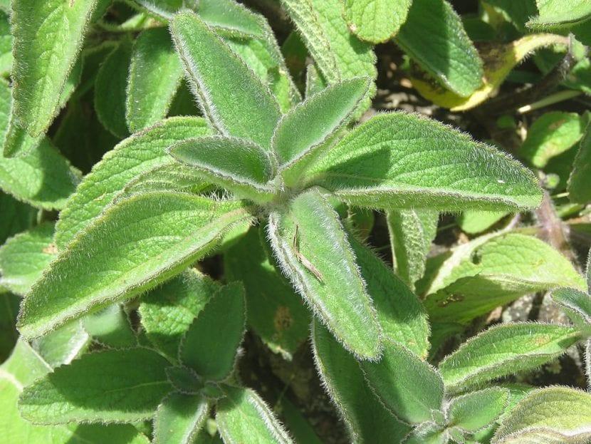 Vista de un Plectranthus barbatus