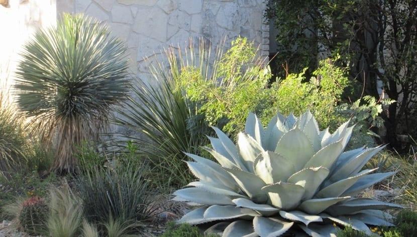 Rusticidad de Yucca rostrata