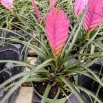 Tillandsia cynaea