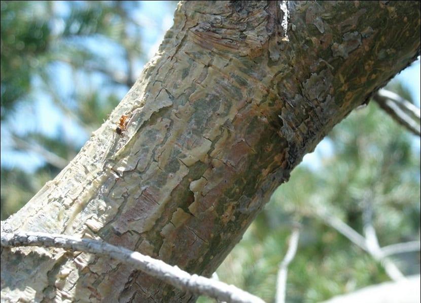 Tronco del pinus uncinata