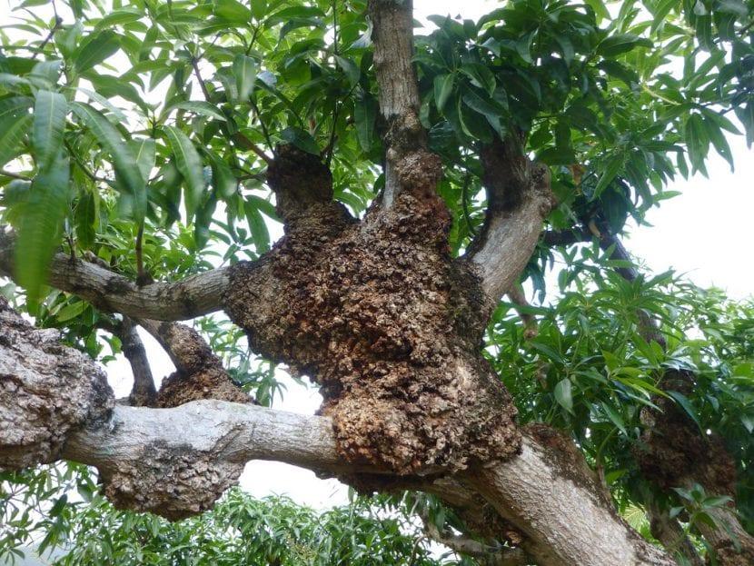 Agallas en el tronco de mango