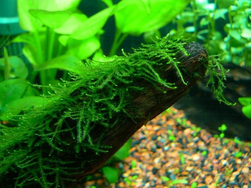algas para decorar el acuario