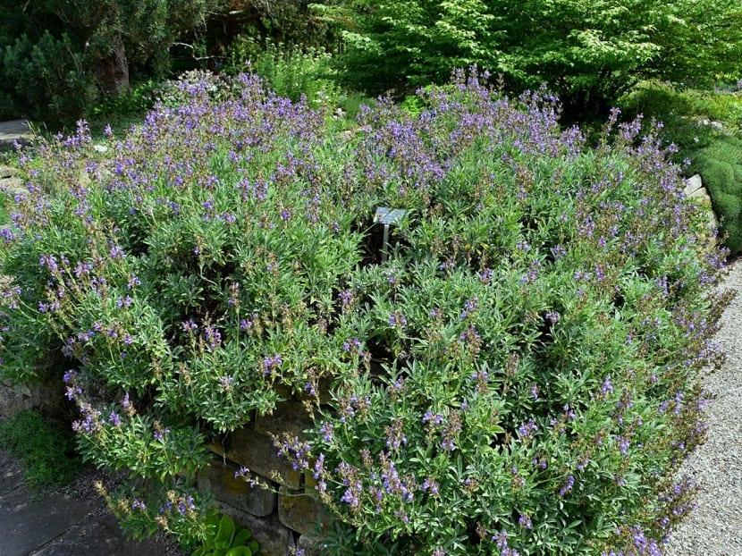 arbusto lleno de pequenas flores color lila o morada