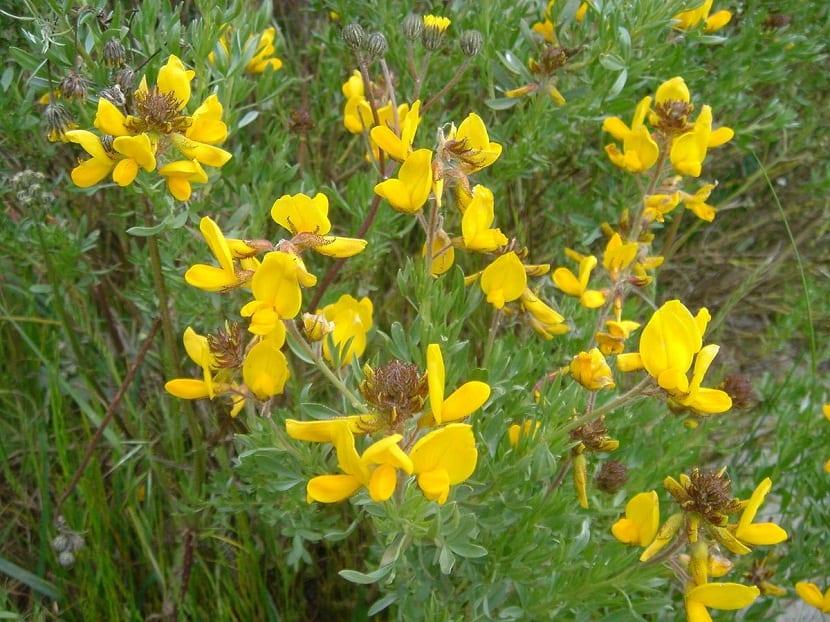 arbusto llenos den flores amarillas